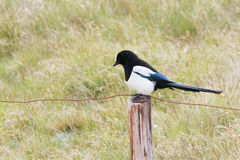 Eurasian Magpie on fence Royalty Free Stock Image