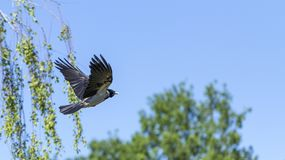 A eurasian magpie, flies against the sky, also known as common magpie. Pica pica stock photo
