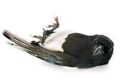 Eurasian Magpie Royalty Free Stock Photos