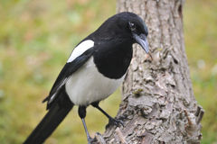 Eurasian magpie Royalty Free Stock Images
