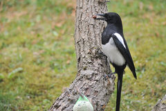 Eurasian magpie Stock Images