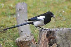 Eurasian magpie Royalty Free Stock Photo