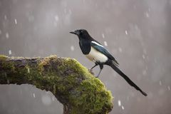 Free Eurasian Magpie On Moss Covered Branch In Winter In Snowfall Stock Photos - 138128293