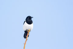 Eurasian magpie Stock Image