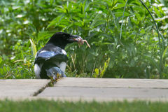 Eurasian magpie & x28;Pica pica& x29; with chick in beak. Bird in the crow family & x28;Corvidae& x29; with prey taken from nest of songbird Stock Images