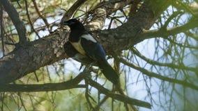 Eurasian Magpie Pica pica. Puerto Real--Pinar de la Algaida, Cádiz, Andalucía, Spain stock photography