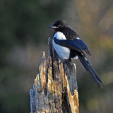 The Eurasian magpie, Pica pica in the fall Royalty Free Stock Photos