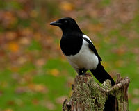 The Eurasian magpie, Pica pica in the fall Royalty Free Stock Images
