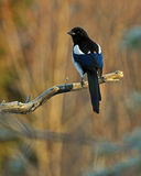 The Eurasian magpie, Pica pica in the fall Stock Images