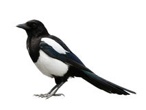 Eurasian magpie Royalty Free Stock Photo