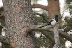 Eurasian magpie, pica pica Royalty Free Stock Photo