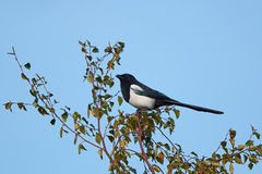 Eurasian Magpie (Pica pica) Stock Image