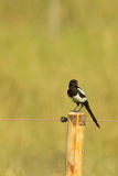 Eurasian Magpie (Pica pica) Stock Photography