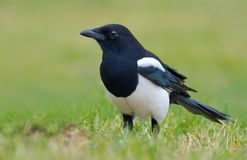Eurasian magpie standing in green grass stock photo