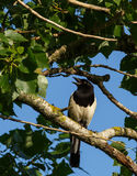 Eurasian magpie on a tree branch Stock Photo
