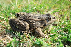 Eurasian Marsh Frog Arkivfoton