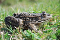Eurasian Marsh Frog Royalty Free Stock Photography