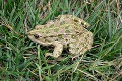 Eurasian Marsh Frog Stock Images