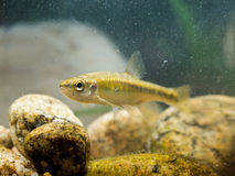 Eurasian Minnow in Natural Habitat. Eurasian minnow (Phoxinus phoxinus) is a Small Fish Carp Family Member living in fast flowing rivers in Eurasia Royalty Free Stock Image