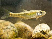 Eurasian Minnow swimming in river Habitat Royalty Free Stock Images