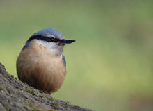 Eurasian Nuthatch Stock Photos