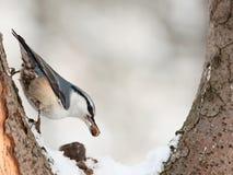 Eurasian Nuthatch. ( Sitta europaea ) eating cedar nut Stock Images