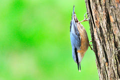 Eurasian Nuthatch. Sits on a tree trunk Royalty Free Stock Images