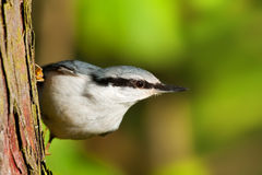 Eurasian Nuthatch Royalty Free Stock Photo