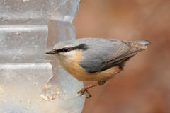 Eurasian Nuthatch Stock Photo