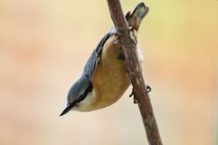 Eurasian nuthatch. Amazing Bird Eurasian nuthatch (sitta europaea&#x29 Stock Image