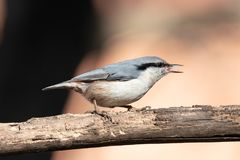 Eurasian nuthatch with beak open and tongue out. Close up of a Eurasian nuthatch with beak open and tongue out.  Sitting on a dry tree branch with orange colored Royalty Free Stock Image
