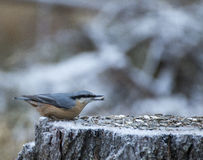 Eurasian nuthatch Royalty Free Stock Photos