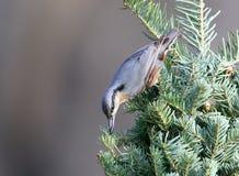 Eurasian nuthatch on a Christmas tree stock photos