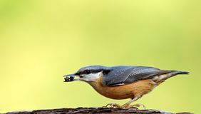 Eurasian Nuthatch on a cortex Royalty Free Stock Image