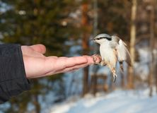 Eurasian Nuthatch. Stock Photography