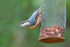 Eurasian nuthatch on a feeder with peanuts Royalty Free Stock Photo