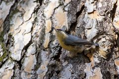 An Eurasian Nuthatch after finding a beetle stock photo
