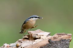 The Eurasian nuthatch jumped into the air with the seeds of a sunflower in its beak. Bird isolated on blurred background Royalty Free Stock Photos