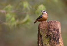 Eurasian Nuthatch on log Royalty Free Stock Photo