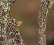 Eurasian Nuthatch on log Royalty Free Stock Image