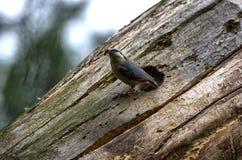 Eurasian Nuthatch. Near tree hollow Stock Photo