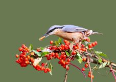 Eurasian nuthatch with a nut in its beak sits on a branch with bright red berries. On a homogeneous light green blurred background Royalty Free Stock Image