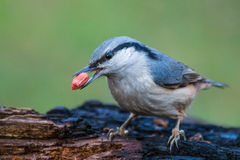 Eurasian nuthatch with a peanut in beak closeup. Closeup image of Eurasian nuthatch (Sitta europaea) holding a peanut in beak on a burnt log in forest Stock Image