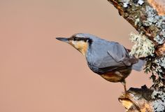 Eurasian nuthatch perching. Stock Images