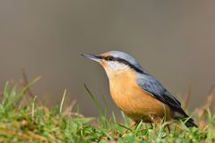 Eurasian nuthatch perching. Royalty Free Stock Photo