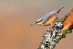 Eurasian nuthatch with pipe in the beak. Stock Images