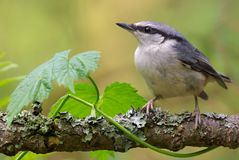 Eurasian nuthatch posing w ith green leaves on lichen covered stick stock photography