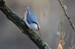 The Eurasian nuthatch in the rays of the rising sun sneaks on t. Wood nuthatch Sitta europaea in the rays of the rising sun sneaks on the branch Stock Photo