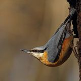 Eurasian Nuthatch on a rotten trunk Royalty Free Stock Image