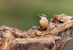 A eurasian nuthatch with a seed in beak and hazelnut. On blurred back Stock Photography